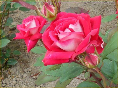 Rose4_3