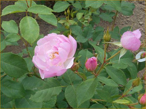 Rose6_2