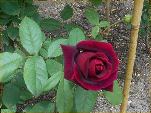 Rose7_4